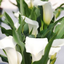 Calla Captain Mirage