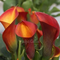 Calla Captain Safari