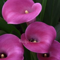 Zantedeschia Dark Eyes