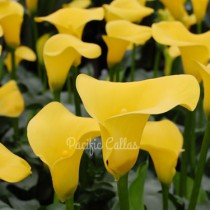 Calla Gold Rush