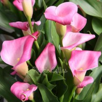 Zantedeschia Hot Flashes