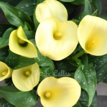Zantedeschia Lemon Drop