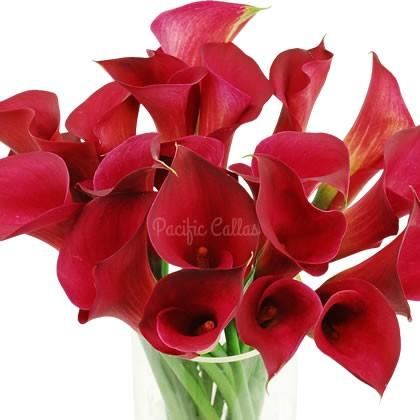 Red/Burgundy Mini Calla Lilies