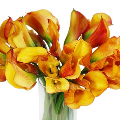 Yellow/Orange Mini Calla Lily flowers