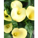Calla Lily Lemon Drop