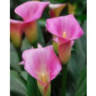 Calla Lily Pink Special