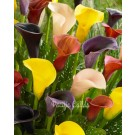 Calla Lily Starter's Mix Pack