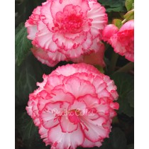 AmeriHybrid Picotee White and Pink Begonia Bulbs