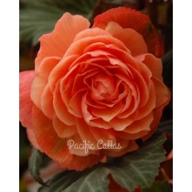 AmeriHybrid Roseform Peach Begonia Bulbs