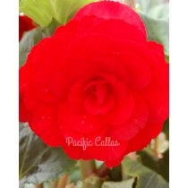 AmeriHybrid Roseform Red Begonia Bulbs