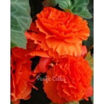 Ruffled Orange Begonias