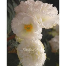 Ruffled White Begonias