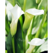 Calla Lily Crystal Clear