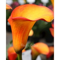 Calla flame bulbs