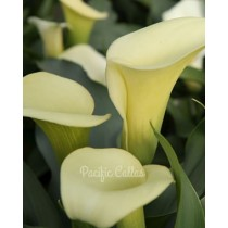 Calla lily mint julip