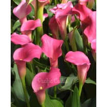 Neon Amour calla lilies