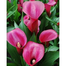 Night cap calla bulbs