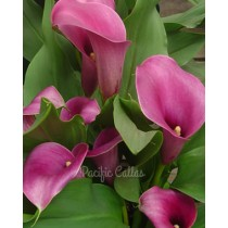 Calla lily regal
