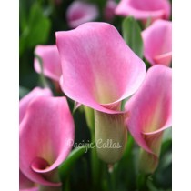Rubylite Rose calla lily bulbs