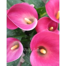 Calla ruby sensation