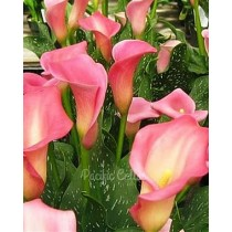 Strawberry Parfait Calla Bulbs