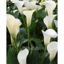 Calla Lily Super Mac